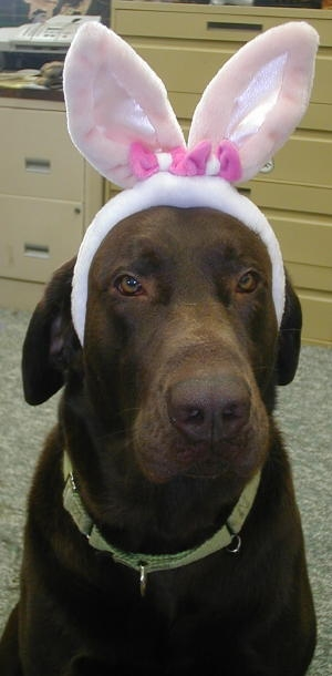 Chocolate Labrador Bunny Rabbit